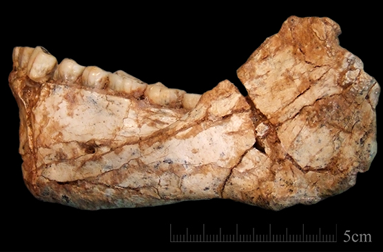 The mandible Irhoud 11