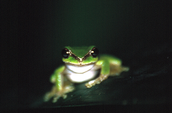 Litoria pearsoniana, photo credit: David Newell