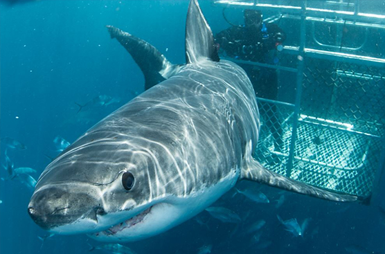 A shark cage diving experience. Photo courtesy Andrew Fox