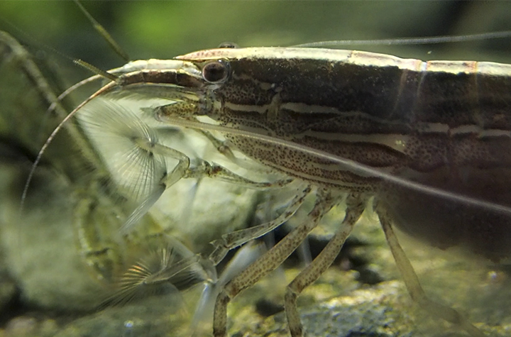 New Australatya shrimp species