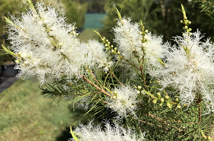 Tea tree in bloom at research site at Lismore campus.