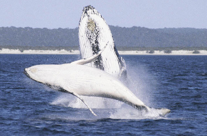 Humpback whale female with calf at Hervey Bay