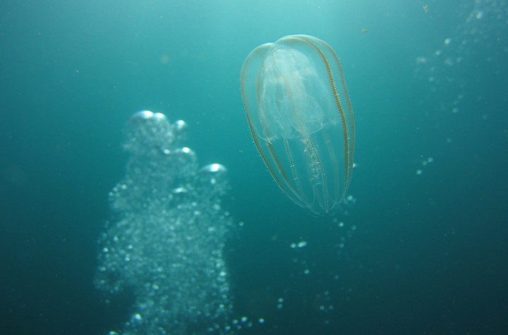 Jellyfish floating past seapHOx device at Cape Byron Marine Park credit: Natacha Gafar