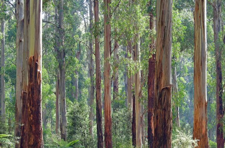 A forest of Australian mountain ash, the tallest flowering plant in the world