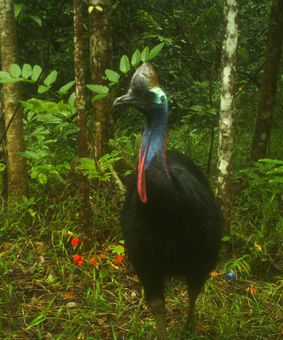 Cassowary attracted to fruit lures in the Daintree
